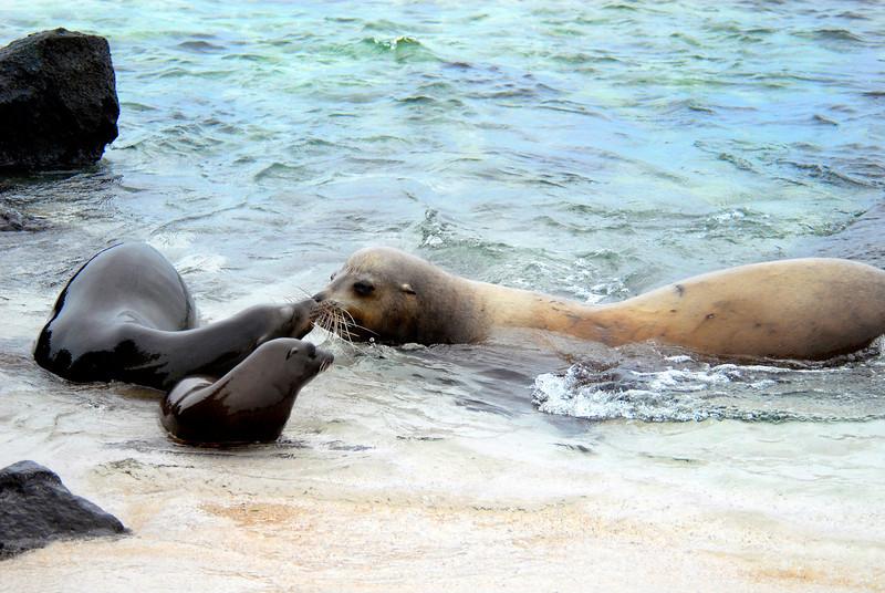 whiskery sea lion reunion @ water's edge-Punta Suarez-Espanola-Galapagos Islands 12-16-2007