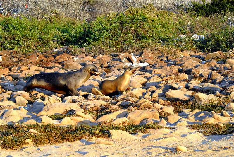 sea lion pair moseying to the beach-N  Seymour Island-Galapagos 12-15-2007