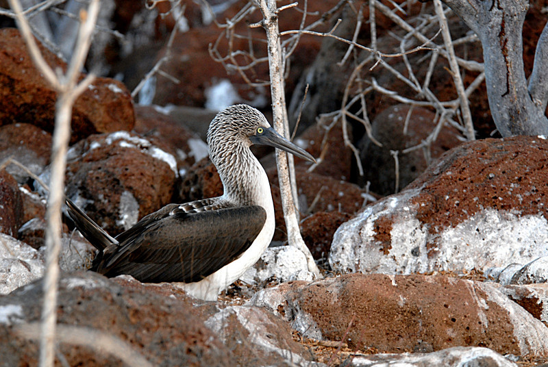 blue-footed booby on the rocks-N  Seymour Island-Galapagos 12-15-2007