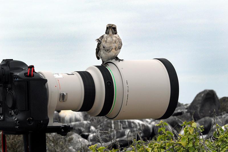 Hood Mockingbird commandeers Ashwini's camera-Punta Suarez-Espanola-Galapagos 12-16-2007
