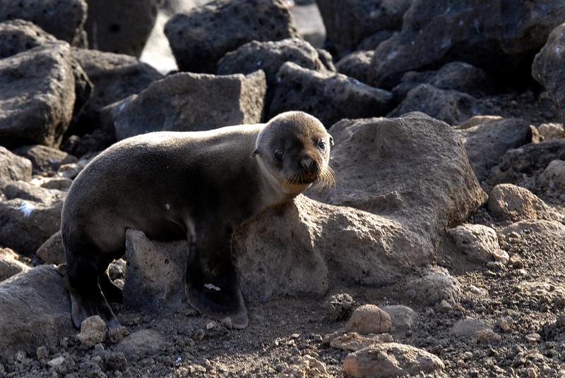 sea lion pup on a pedestal-N  Seymour Island, Galapagos 12-15-2007