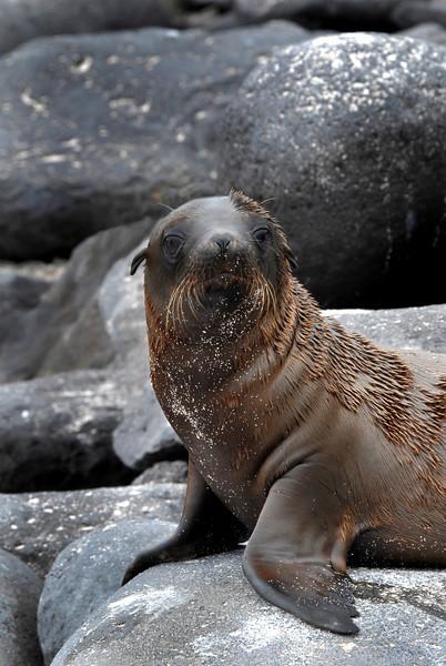 sea lion pup posed on rock-Punta Suarez-Espanola 12-16-2007