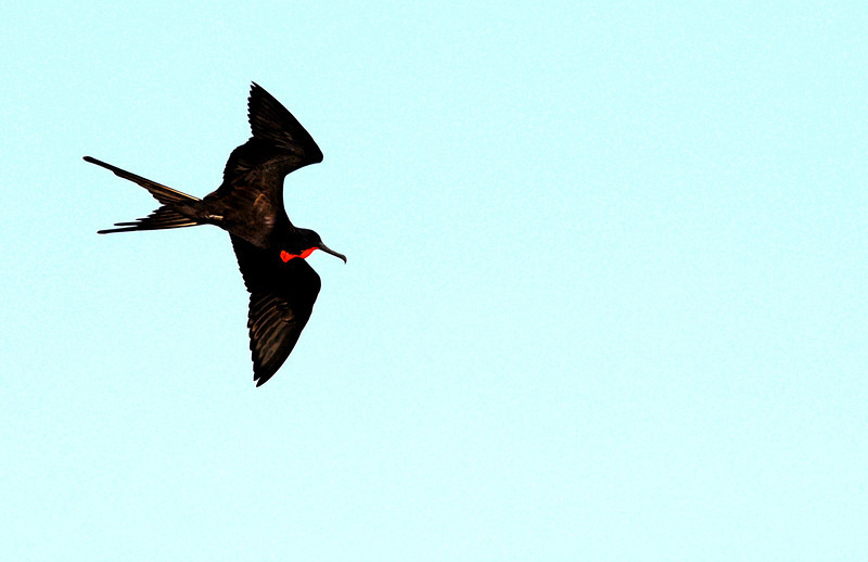 frigatebird in flight above N  Seymour Island-Galapagos 12-15-2007