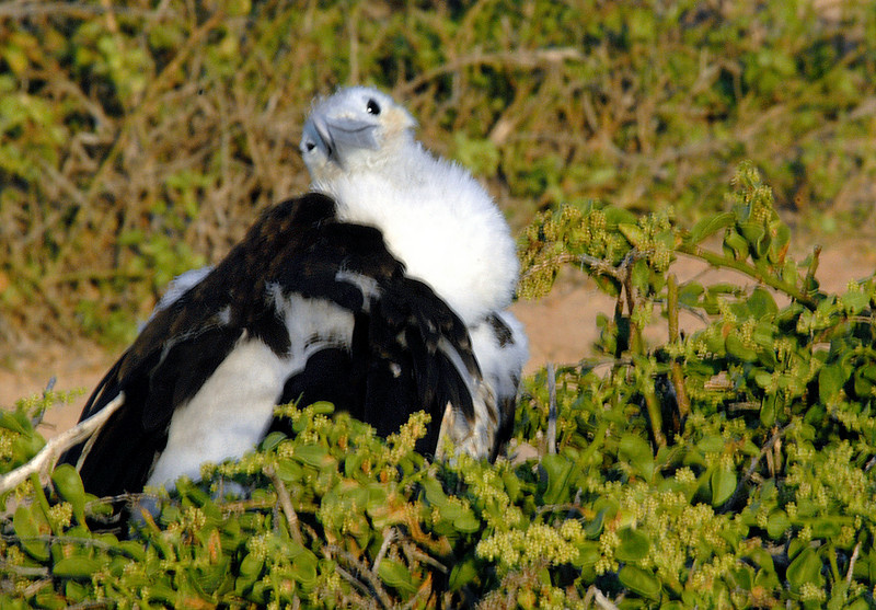 frigatebird diva-N  Seymour Island-Galapagos 12-15-2007