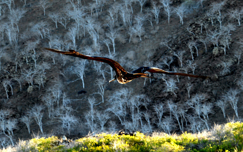 frigatebird on air, Palo Santo trees on hillside-Punta Cormorant-Floreana Island 12-17-2007