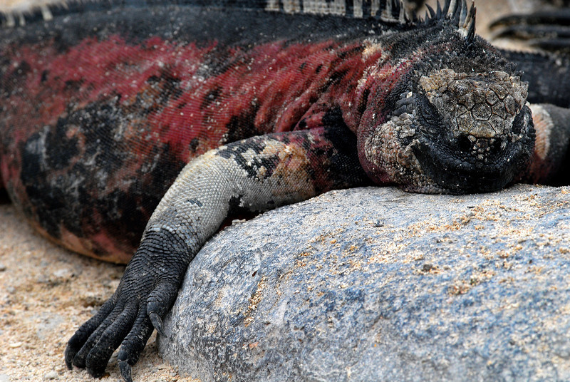 marine iguana meets rock-Punta Suarez-Espanola Island 12-16-2007