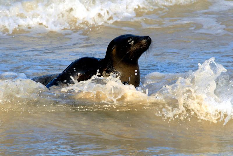 sea lion pup sunning in the surf-Punta Cormorant-Floreana Island 12-17-2007