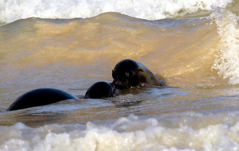 sea lion smooch in the surf-Punta Cormorant-Floreana Island 12-17-2007