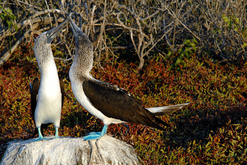 blue-footed boobies knocking beaks-N  Seymour-Galapagos Islands 12-15-2007