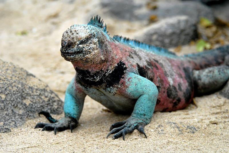 marine iguana @ Punta Suarez-Espanola Island-Galapagos 12-16-2007