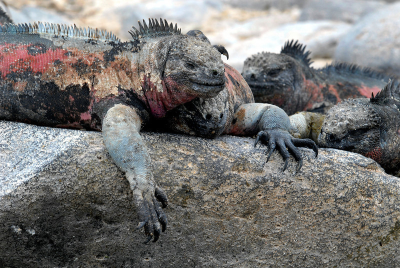 marine iguanas on the rocks-Punta Suarez-Espanola Island 12-16-2007