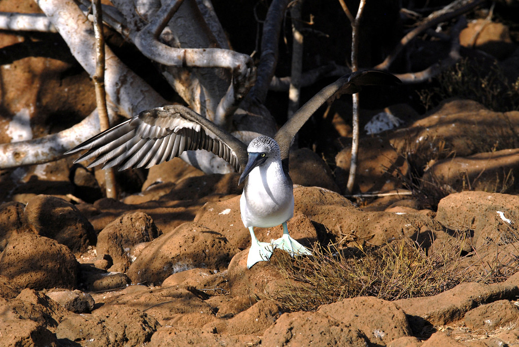 blue-footed booby ready for take-off-N  Seymour Island, Galapagos 12-15-2007