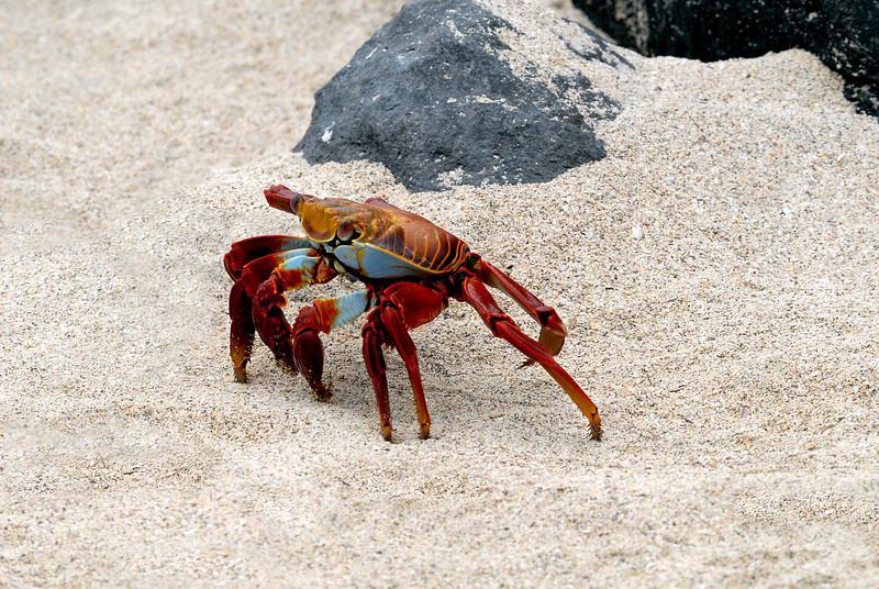 Sally Lightfoot crab on the beach-Punta Suarez, Espanola Island-Galapagos 12-16-2007