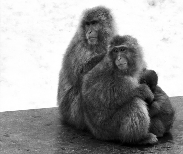 macaque family - Hell Valley Monkey Park, Japan 1998 Feb copy