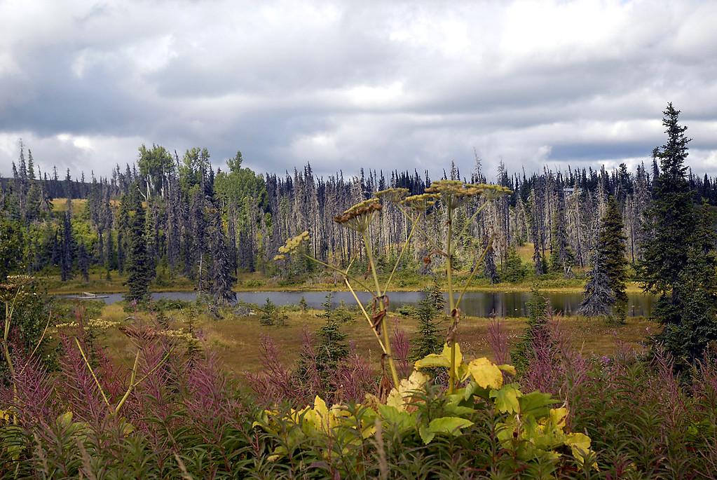 Alaskan flora & dead spruce forest-East End Rd-Homer, Alaska 9-1-2007