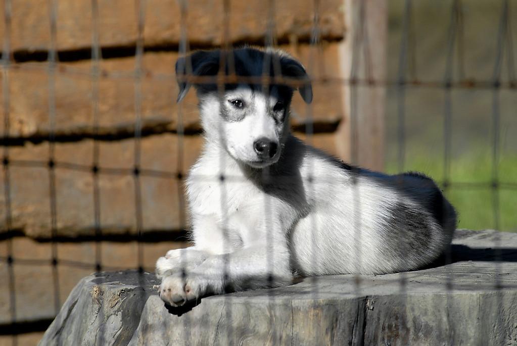 husky pup on a stump-Mitch Seavey's sled dog kennels-Seward, AK 8-31-2007