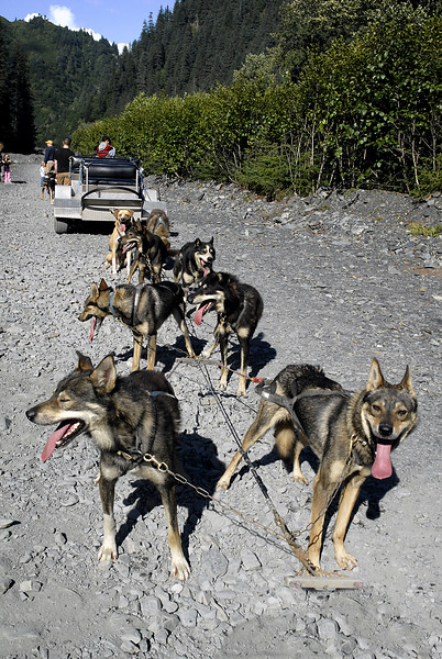 sled dog team taking a break @ Box Canyon-Seward, Alaska 8-31-2007