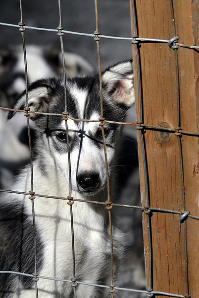 husky pup behind bars-Seavey's kennel-Seward, AK 8-31-2007