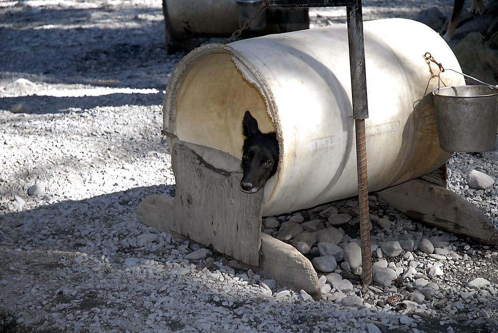 it's a dog life-sled dog in barrel doghouse-Seward, AK 8-31-2007
