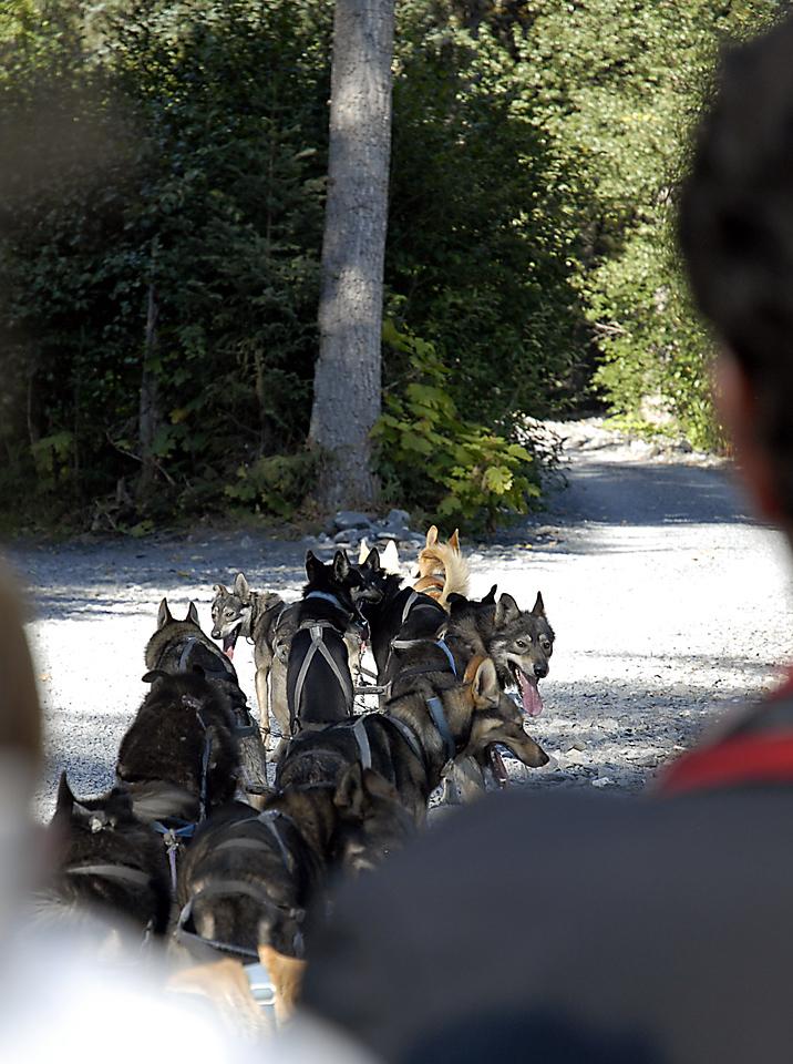 sled dog team waiting for musher's signal-Seward, AK 8-31-2007
