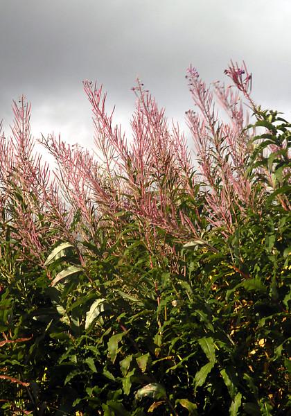 fireweed-Homer, Alaska 9-2007