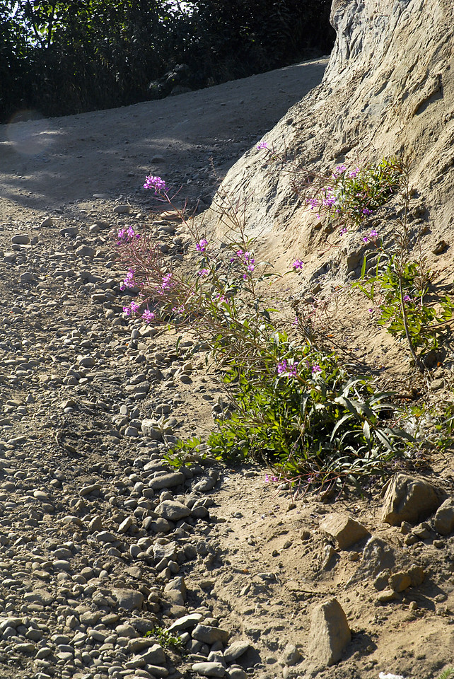 violet flowers along dirt road down to Kachemak Bay-near Homer, Alaska 9-1-2007