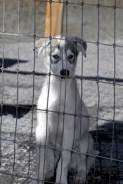 pale pup posing-Seavey's kennels-Seward, AK 8-31-2007