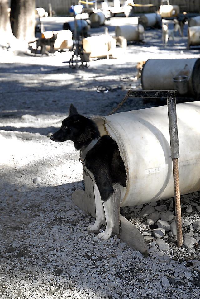 sled dog coming out of barrel-Seavey's Ididaride kennel-Seward, AK 8-31-2007