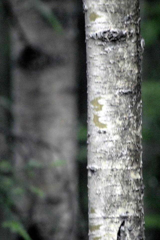 tree bark-Sterling, AK 9-2-2007