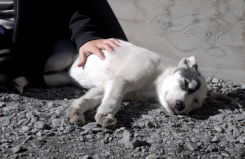 husky pup basking in the sun-Seaveys homestead-Seward, AK 8-31-2007
