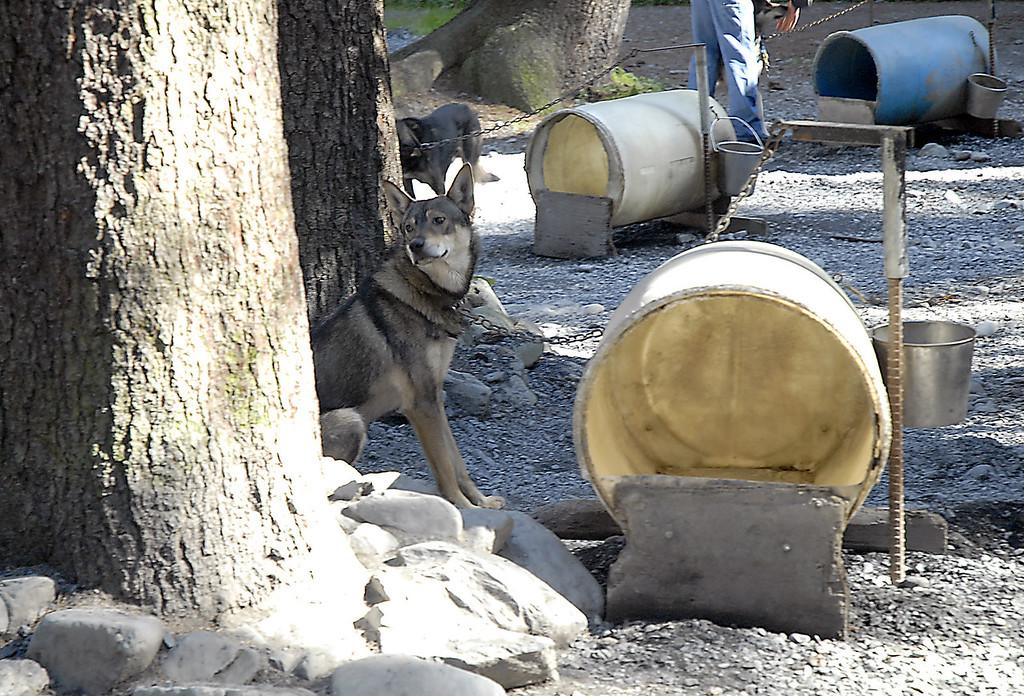 husky in Seavey's kennel-Seward, Alaska 8-31-2007