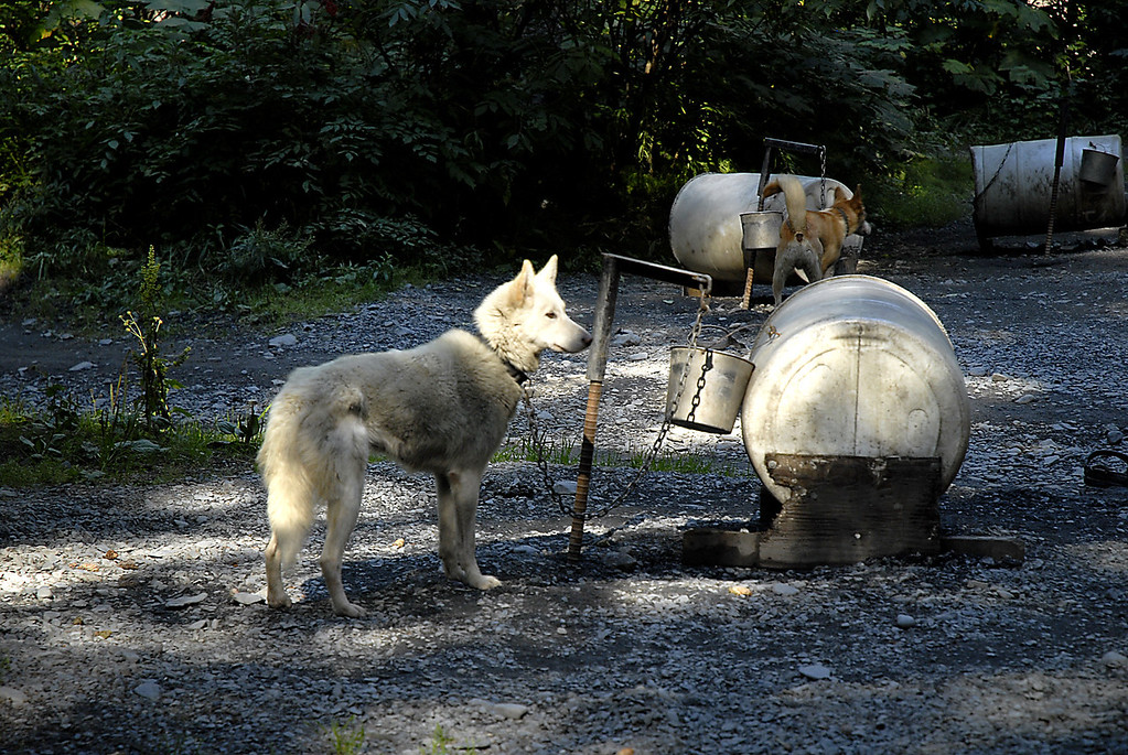 Alaskan Husky staked out @ doghouse in Seavey's kennel yard-Seward, AK 8-31-2007
