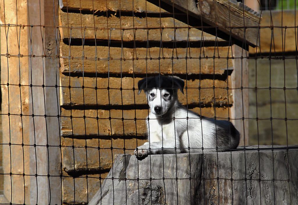 husky pup on stump in Mesa's kennel-Seward, AK 8-31-2007