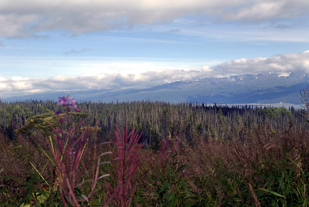 fireweed, parsnip & dead spruce trees above Kachemak Bay-Homer, Alaska 9-2007