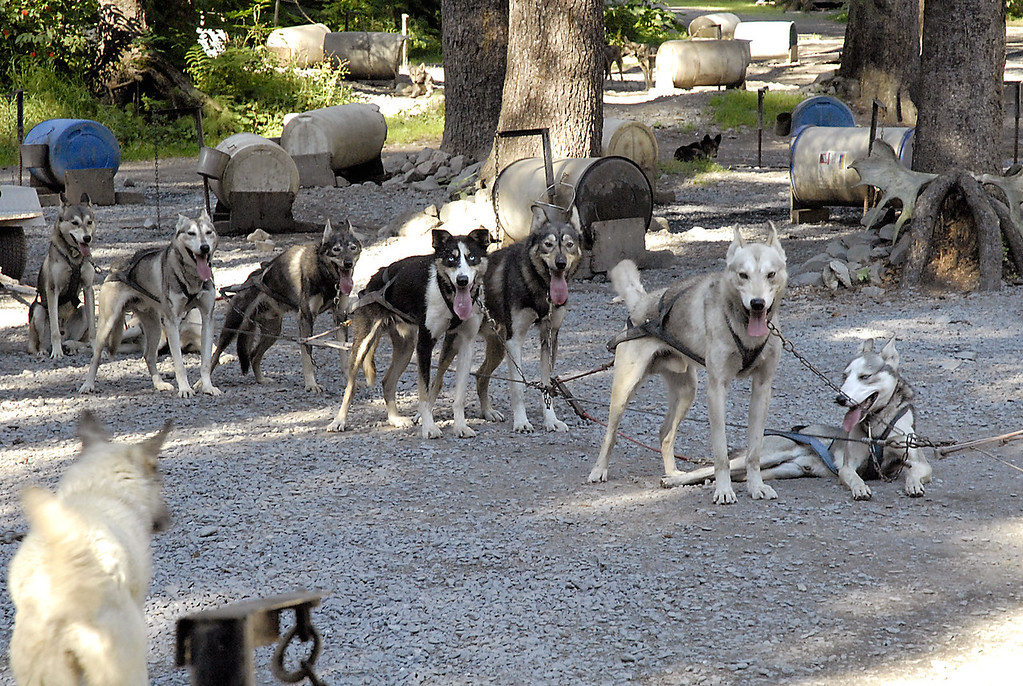 sled dog team waiting for take-off-Mitch Seavey's Ididaride-Seward, AK 8-31-2007