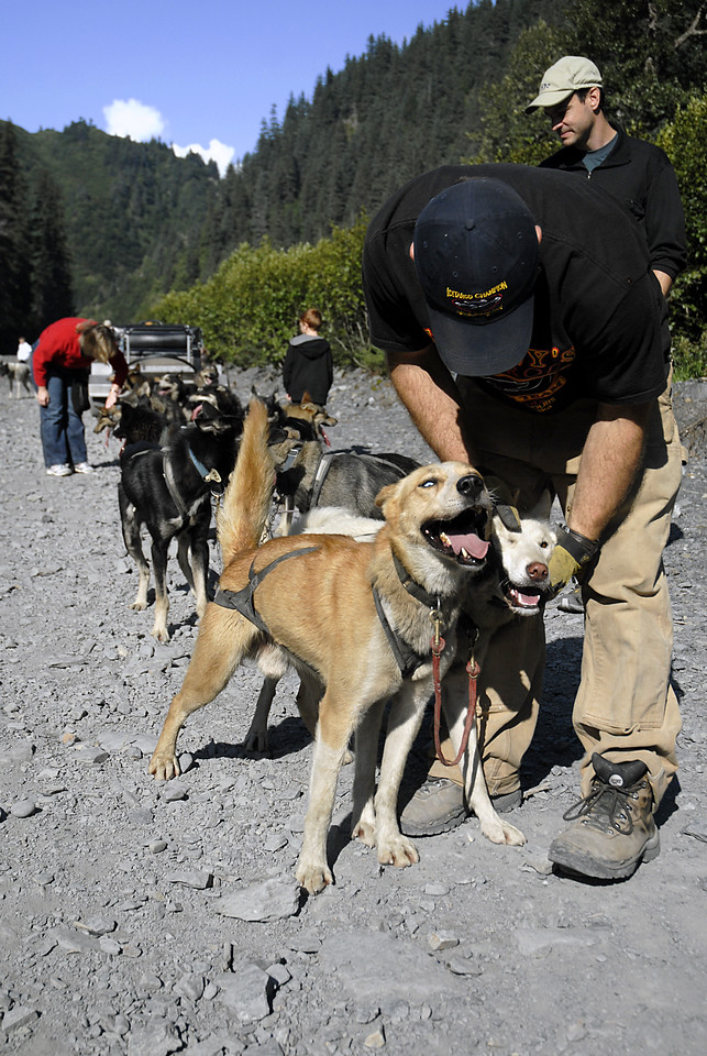 musher checking Jerry & Salsa's harnesses-Box Canyon-Seward, AK 8-31-2007