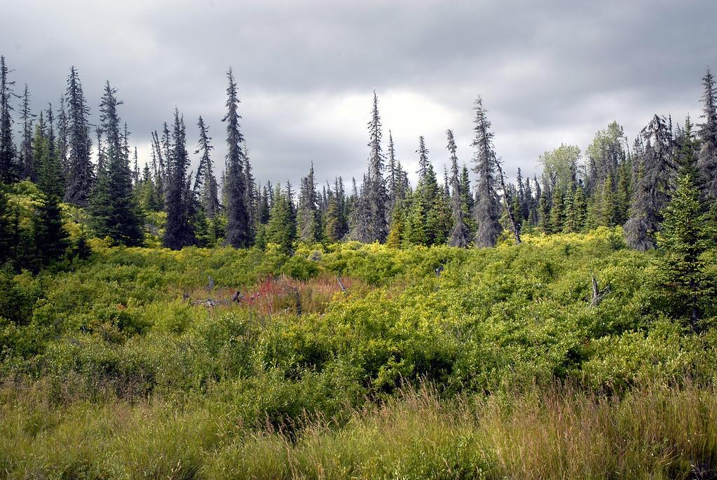 spruce skeletons along East End Road-Homer, Alaska 9-1-2007