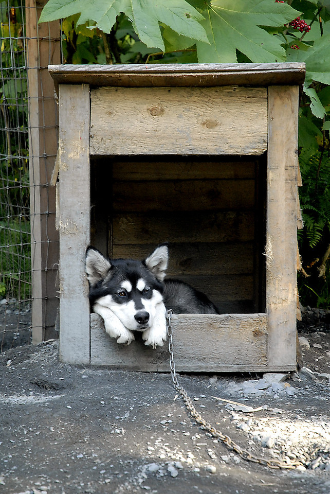 Alaskan husky papa @ Seavey homestead-Seward, AK 8-31-2007