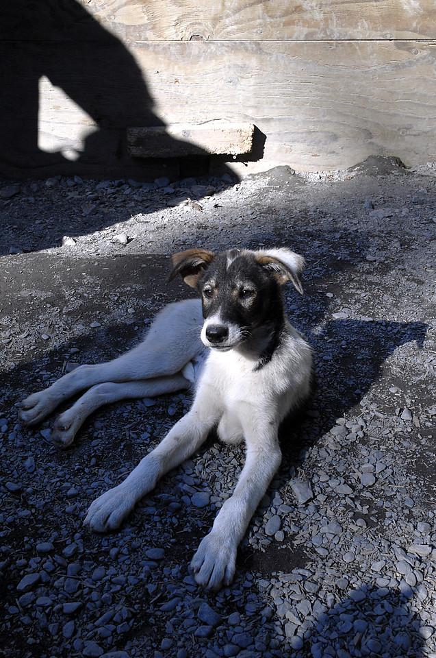 husky pup relaxing in kennel-Seavey's homestead-Seward, AK 8-31-2007
