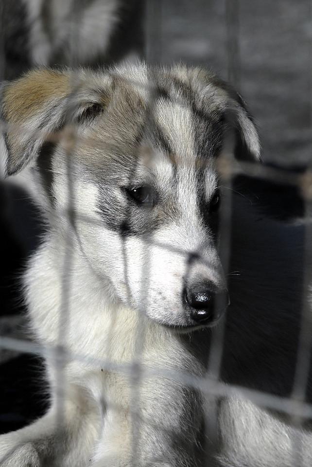 pup profile in Seavey's sled dog kennels-Seward, AK 8-31-2007