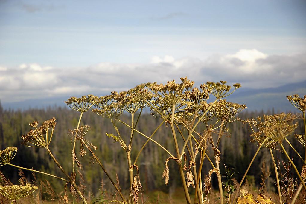 golden flora along East End Rd-Homer, Alaska 9-1-2007