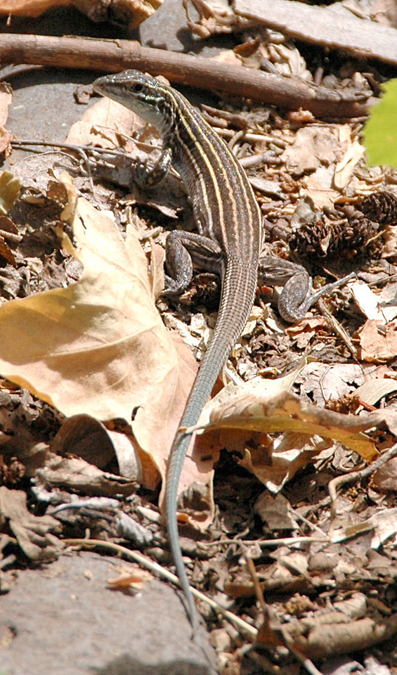 lizard in Oak Creek Canyon, Az 7-9-04