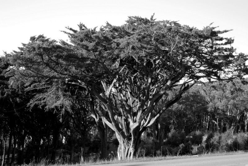 eucalyptus tree, bw, Presidio, San Francisco 1-15-2007