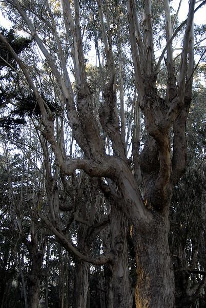 gnarled tree trunks in Presidio-San Francisco 1-15-2007