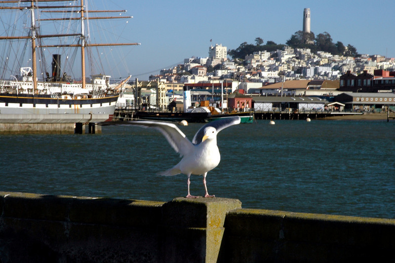 sea gull, Fisherman's Wharf, Tower Hill, Coit Tower-San Francisco, CA 2-14-06