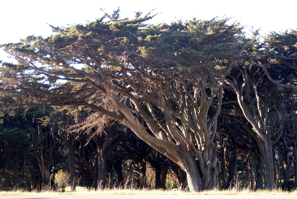 Presidio stand of tree-San Francisco 1-15-2007