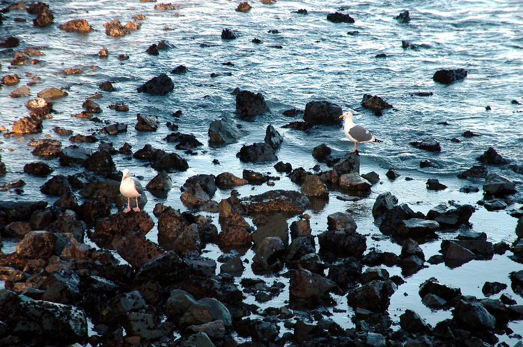 gulls on the rocks, San Francisco, CA 2-14-06