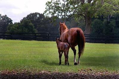 horse mama & foal rears - Ocala, FL 5-2-04