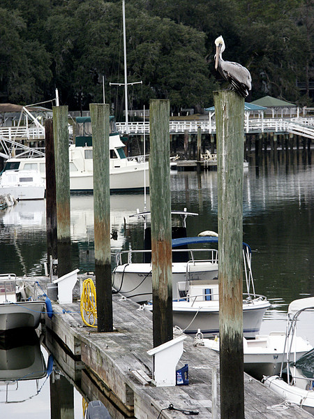 pelican on a post - isle of Hope, Georgia 2002