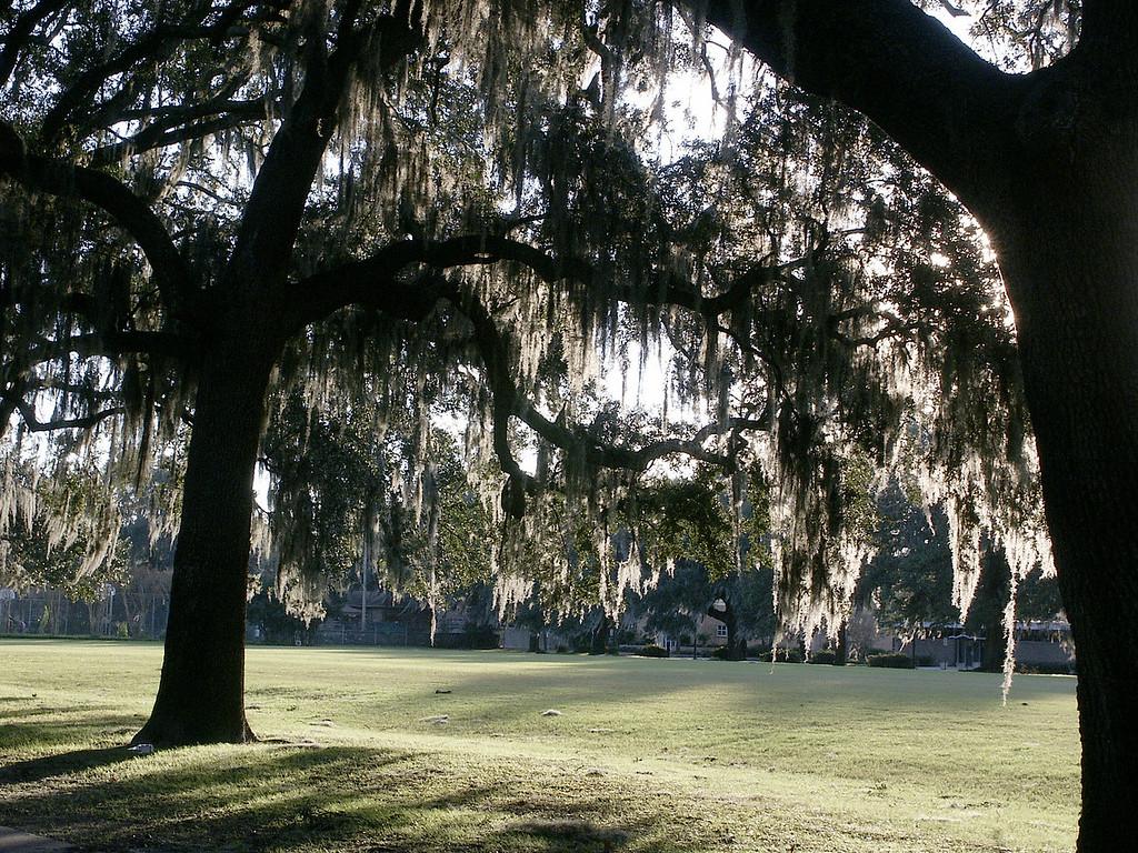 Spanish moss in Forsyth Park-Savannah